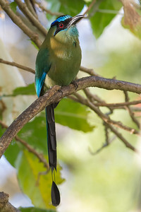 Blue-crowned Motmot - Heredia, Costa Rica