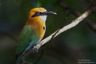 Broad-billed Motmot - Record - Barro Colorado Island, Panama