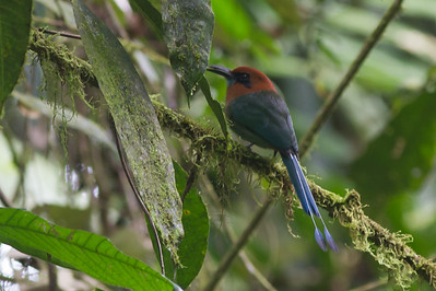 Broad-billed Motmot - Record - Arenal, Costa Rica