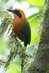 Rufous Motmot - Arenal, Costa Rica