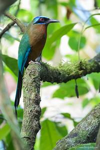 Trinidad Motmot  - Record - Asa Wright Nature Center, Trinidad