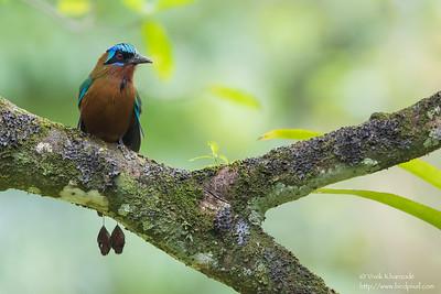 Trinidad Motmot - Gilpin Trace, Tobago