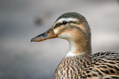 Female Mottlled Duck