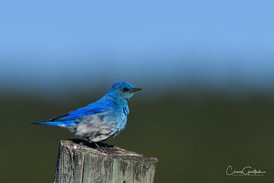 Mr. Blue