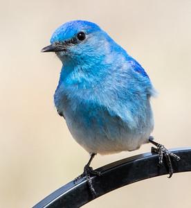 Mountain Bluebird May 2018