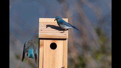 Bluebird Feeding Transfer