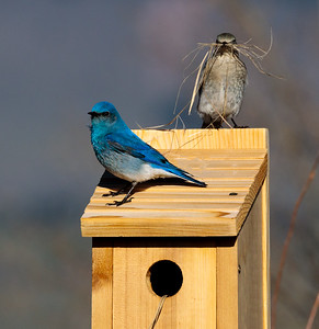 Nesting Mountain Bluebirds
