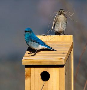 Nesting Mountain Bluebirds