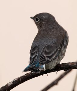 Mountai Bluebird Just Fledged