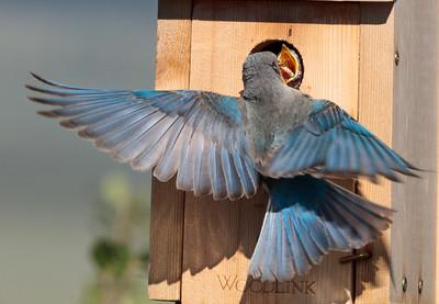 Mountain Bluebird Chicks