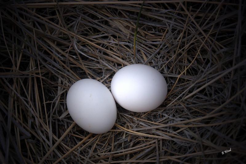 ZM 07MY4448 Mourning Dove nest (Zenaida macroura).