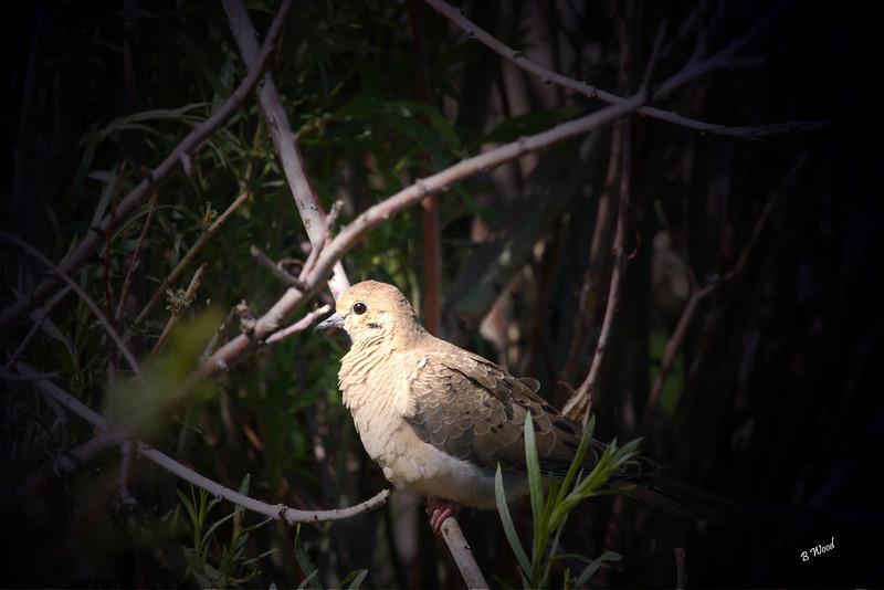 ZM 07JU9349 Mourning Dove (Zenaida macroura).