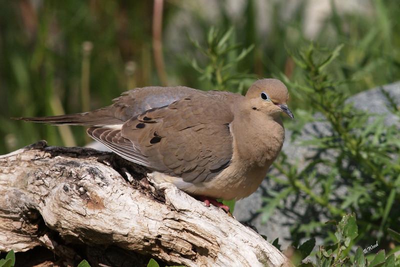 ZM 07MY5834 Mourning Dove (Zenaida macroura).