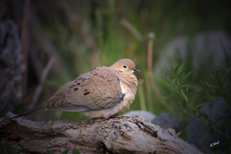 ZM 07MY5765 Mourning Dove (Zenaida macroura).