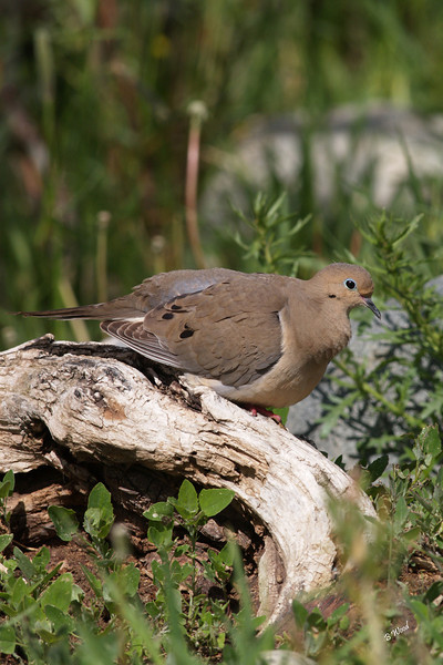 ZM 07MY5835 Mourning Dove (Zenaida macroura).