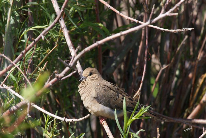 ZM 07JU9348 Mourning Dove (Zenaida macroura).