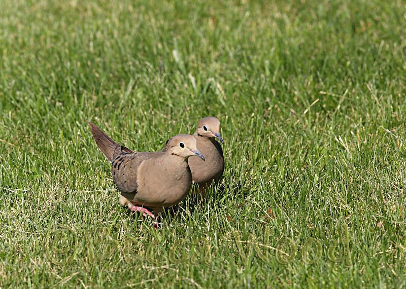 ZM 08JL2766<br /> <br /> Mourning Doves (Zenaida macroura).