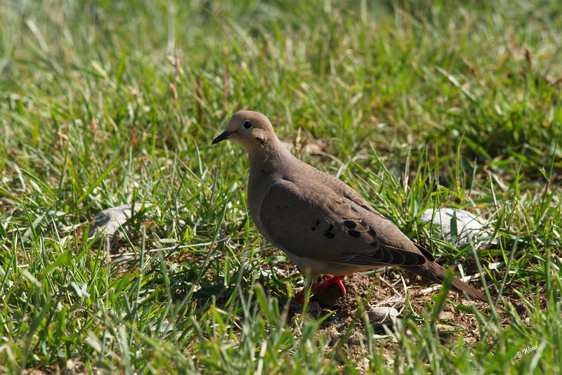 ZM 07JU9353 Mourning Dove (Zenaida macroura).