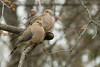 5-2-14 Mourning Dove 2