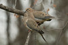 5-2-14 Mourning Dove 1