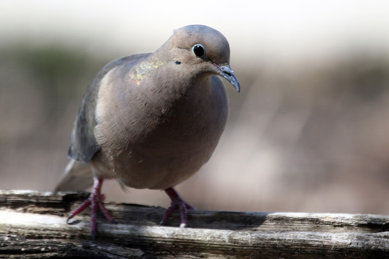 4-19-14 Mourning Dove 1