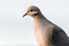 5-9-14 Mourning Dove 1