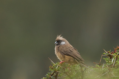 Speckled Mousebird - Lake Nakuru National Park, Kenya