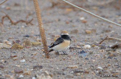 Pied Wheatear (male)