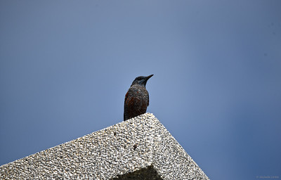 Blue Rock Thrush