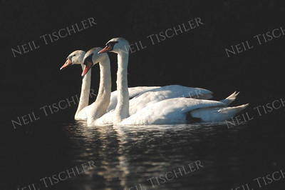 #612  A trio of mute swans, caught for a moment in a flash of sunlight.