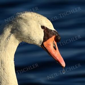 #974  A mute swan portrait.