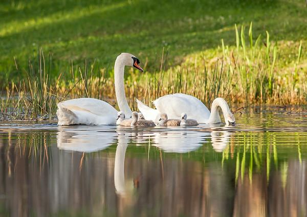 Mute Swan Family Portrait