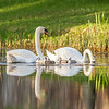 Mute Swan Family Portrait