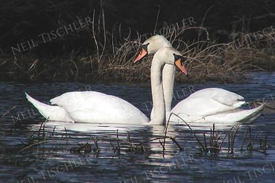 #251  A mute swan pair in springtime.