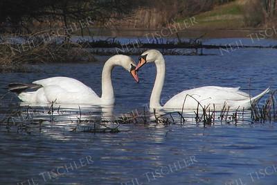 #250  A mute swan pair in springtime.