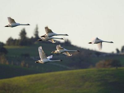 Mute Swans - 01/15/06 - Shollenberger Park, Petaluma, California