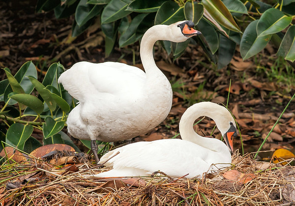 Mute Swan Pair at Nest