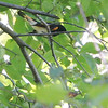 American Redstart (Male) <br /> Unger Park - St. Louis County