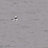 Bufflehead (Male) Riverlands Migratory Bird Sanctuary