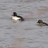 Common Goldeneye pair Riverlands Migratory Bird Sanctuary