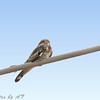 Common Nighthawk <br /> BMAC Bridgeton Mo.
