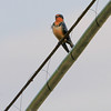 Barn Swallow <br /> Mallard lake (Creve Couer)