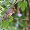 Northern Cardinal (Female) <br /> Lake 6<br /> Busch Wildlife CA
