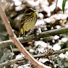 Palm Warbler <br /> Riverlands Migratory Bird Sanctuary<br /> Ellis Island
