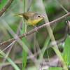 Common Yellowthroat (Female) <br /> Busch Wildlife Area