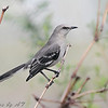 Northern Mockingbird <br /> Creve Couer Marsh