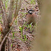 Northern Bobwhite (Male) <br /> Creve Couer Marsh