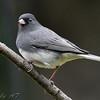 Dark-eyed Junco <br /> Backyard Bird
