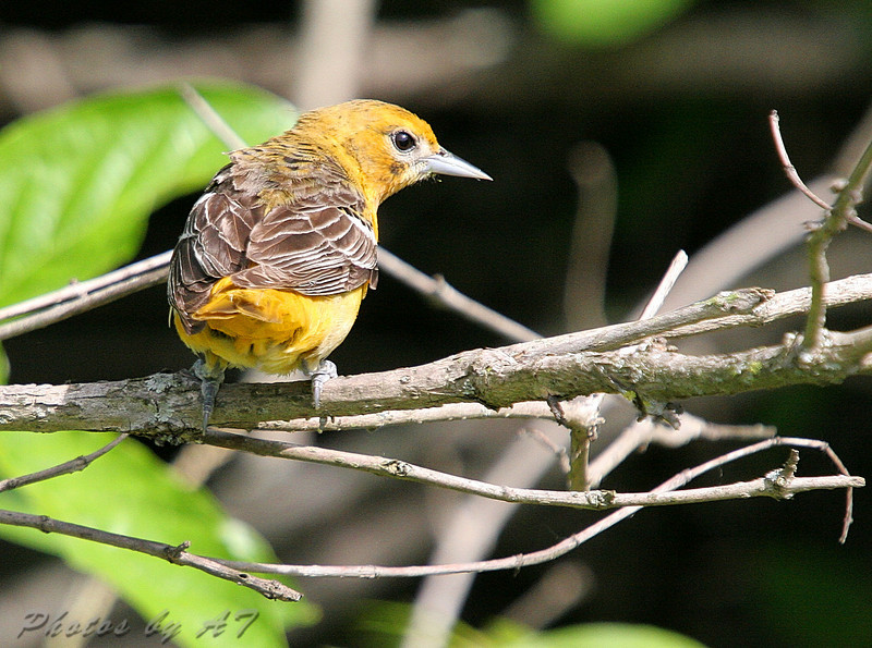 Baltimore Oriole (Female) <br /> Lake 6 Busch Wildlife Area