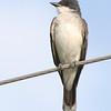 Eastern Kingbird <br /> Missouri Bottoms<br /> Bridgeton